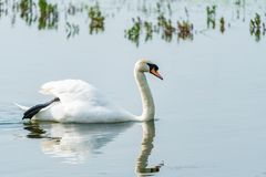 Mute swan - Cygnus olor. White mute swan Cygnus olor on a pond royalty free stock image
