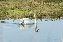 Mute swan - Cygnus olor. White mute swan Cygnus olor on a pond stock photos