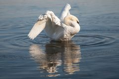 Mute swan cleaning his feathers on the river stock photography