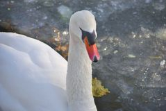 Mute swan, or Cygnus olor. White mute swan Cygnus olor swimming in the lake in winter Stock Photo
