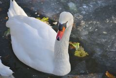 Mute swan, or Cygnus olor. White mute swan Cygnus olor swimming in the lake in winter Stock Photos
