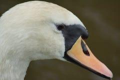 Mute Swan - Cygnus olor Royalty Free Stock Images