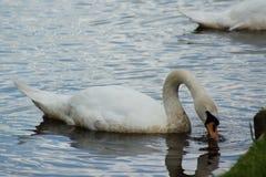 Mute Swan - Cygnus olor Stock Image