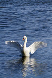 Mute Swan (Cygnus olor) with wings outstretched. A magnificent mute swan stretches its white wings on the water at a Nature reserve in Dorset, England royalty free stock photos