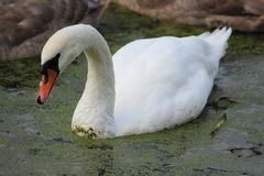 mute swan  Stock Images