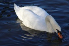The mute swan, Cygnus olor, with young Stock Photos