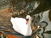Mute swan (cygnus olur) Royalty Free Stock Photos