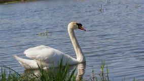 Free Mute Swan, Cygnus, Single Bird On Water Stock Image - 72022441