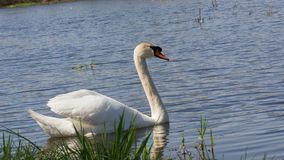Mute swan, Cygnus, single bird on water