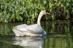 Mute Swan in the Danube Delta. Wildlife birds and birdwatching photography and a common sighting for tourists in the Danube Delta, Eastern Europe, Romania royalty free stock photos