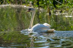 Mute Swan in the Danube Delta. Wildlife birds and birdwatching photography and a common sighting for tourists in the Danube Delta, Eastern Europe, Romania stock photos