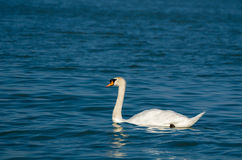 Mute Swan with Dark Blue Water Stock Photography
