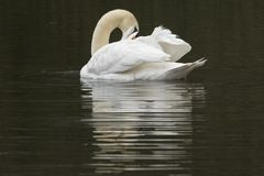 White swan on a dark background Royalty Free Stock Image