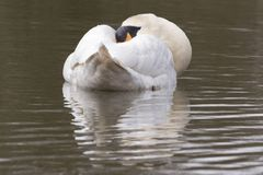 A swan with dozing on the Cemetery Lake Stock Images