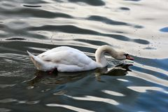 The mute swan is drinking water stock photo