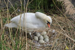 Mute Swan with eggs on nest Cygnus Olor Royalty Free Stock Photo
