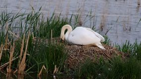 Mute swan with eggs. On nest in a lake on a windy day stock video footage