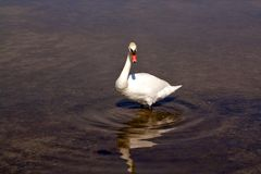 Mute swan. Elegant white swan swimming in shallow water. Left side view Stock Photo