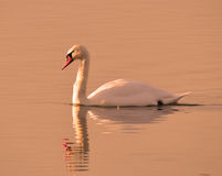 Mute swan in evening sun Stock Images