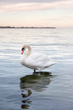 Mute swan in the evening warm light on Lake Ontario Royalty Free Stock Images