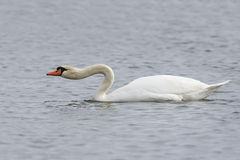 Mute Swan extending its neck to show aggression. Mute Swan Cygnus olor extending its neck to show aggression - Kensington Metropark, Michigan Stock Photography