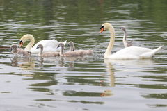 Mute swan family Royalty Free Stock Photo