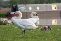 Mute Swan family, with cygnet Stock Photos