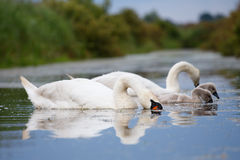 Mute swan family eating Stock Photography