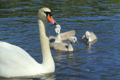 Mute swan family Royalty Free Stock Photos