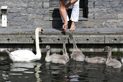 Mute swan family Royalty Free Stock Photography