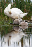 Mute swan family hygiene Royalty Free Stock Photo