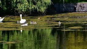 Mute swan family swimming on the pond. Ambleside park West Vancouver BC Canada stock video footage