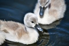 Mute Swan babies swimming on the pond. Mute Swan family swimming on the pond stock images