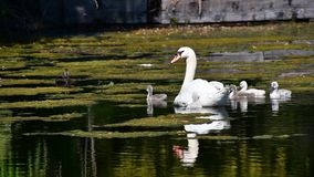 Mute swan family swimming on the pond. Ambleside park West Vancouver BC Canada stock footage