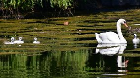 Mute swan family swimming on the pond. Ambleside park West Vancouver BC Canada stock video