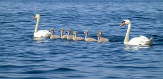 A mute swan family swims in the ocean. royalty free stock image