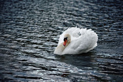 Mute Swan with Feathers Cowled. A large adult mute swan on choppy water extends his feathers and pushes his neck back in a defensive posture Stock Photography