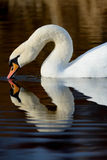 Mute swan feeding Royalty Free Stock Photo