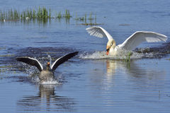 Mute swan in fight Stock Images