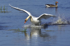 Mute swan in fight Royalty Free Stock Images