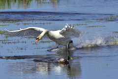 Mute swan in fight Royalty Free Stock Photos