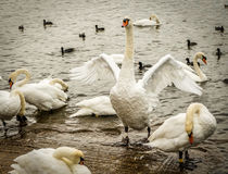Mute Swan Flapping Wings Stock Photos