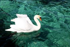 White swan floats on blue Swiss water in Geneva peaceful aqua stock image