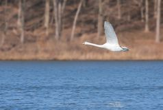 Mute Swan Flies Over A Blue Lake. In the early morning a mute swan glides across a deep blue lake. Wings opened, feet up, neck stretched out, the swan soars just stock images