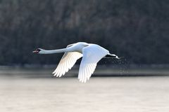 Mute swan in flight Stock Photography
