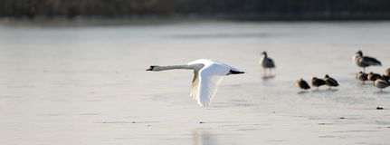 Mute swan in flight Royalty Free Stock Images