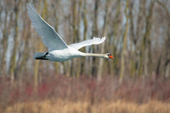 Mute Swan in flight. Royalty Free Stock Image