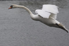 Mute swan in flight Stock Photo
