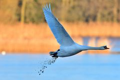 Mute swan in flight Royalty Free Stock Photos