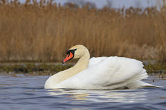 Mute swan floating on blue water Stock Photos